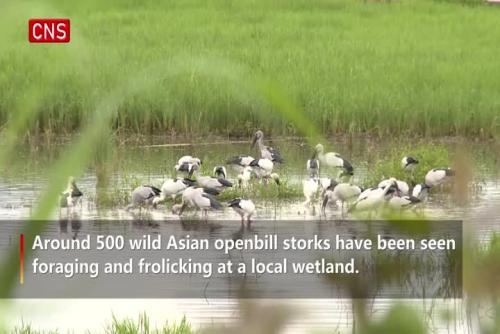 500 wild Asian openbill storks settle in SW China